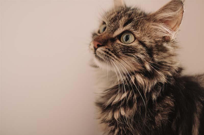 Wann sind Katzen ausgewachsen_ einimal.de