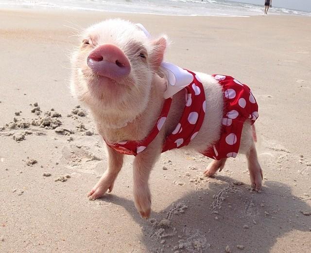 Babyschwein Priscilla
