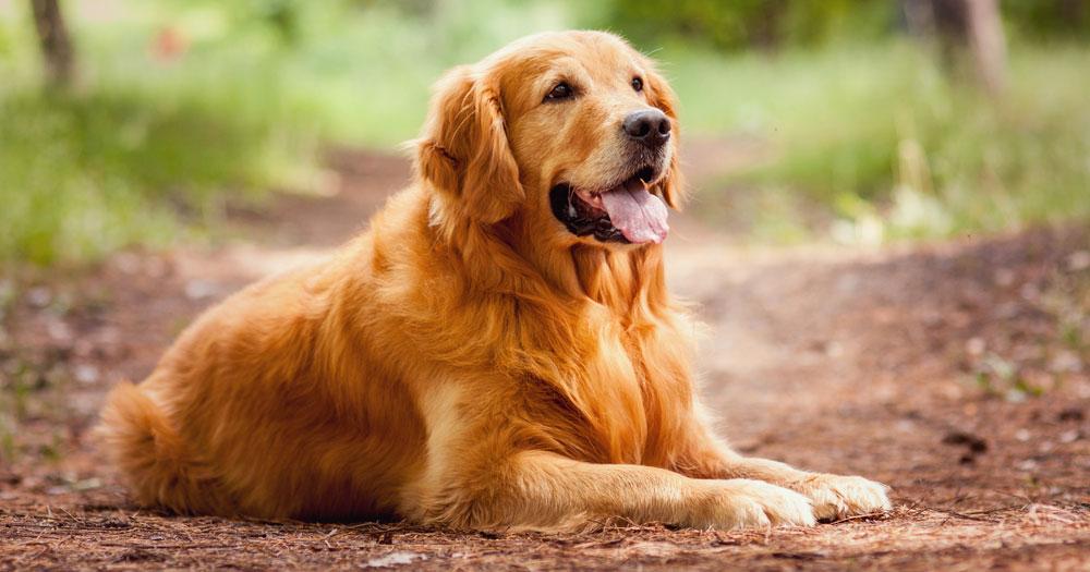 Der Golden Retriever – Everybody's Darling