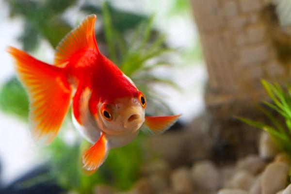 Die besten zwerghuhnrassen f r deinen garten for Goldfisch rassen