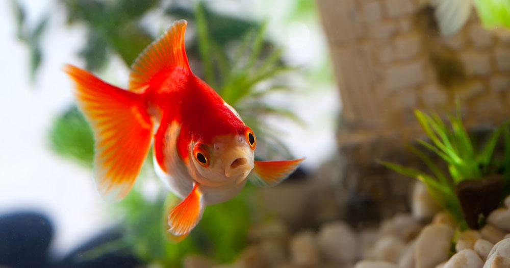 goldfische beliebt und oft untersch tzt. Black Bedroom Furniture Sets. Home Design Ideas