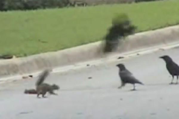 Tapferes Eichhörnchen kämpft gegen drei Krähen um Freund zu beschützen